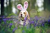 Happy Easter - Lucy Beagle at Bluebell Woods | Hertfordshire, England