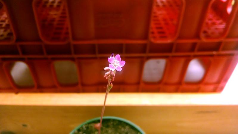 Drosera tokaiensis flower.