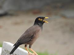 blackbird(0.0), wildlife(0.0), animal(1.0), fauna(1.0), common myna(1.0), beak(1.0), bird(1.0),