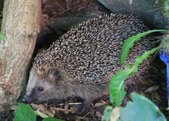 echidna, animal, porcupine, domesticated hedgehog, erinaceidae, fauna, wildlife,