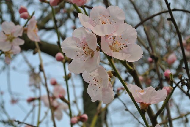 Mandelblüten, Nikon 1 V1, 1 NIKKOR VR 10-30mm f/3.5-5.6
