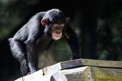 Chimp Baby Climbing a Deck