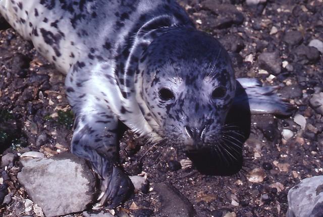 Phoca vitulina (Harbor Seal) pup