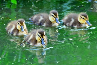Chicks of Spot-Billed Duck / カルガモの雛鳥