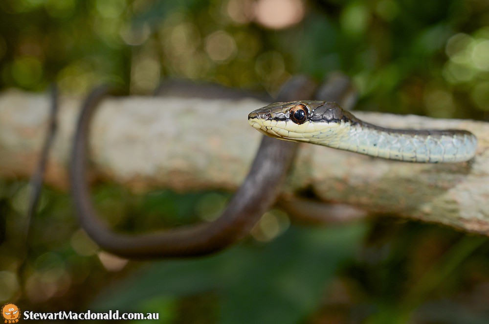 Northern tree snake (Dendrelaphis calligastra)