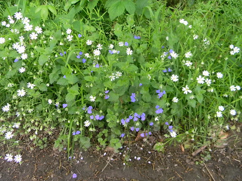 Speedwell and Stitchwort