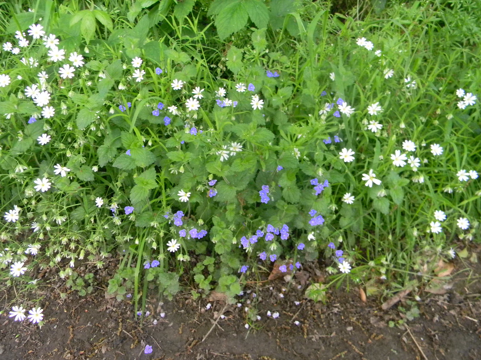 Speedwell and Stitchwort Long Leigh circular