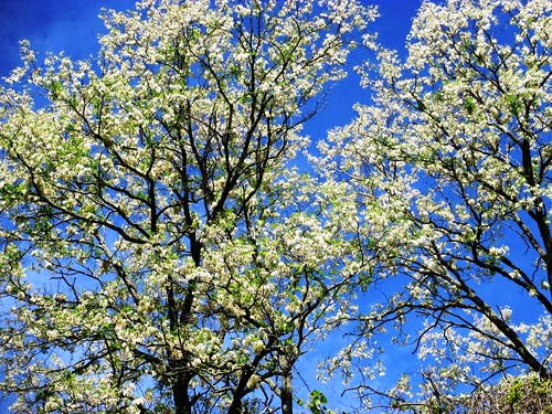 Trees in bloom at Uncle Tom's Cabin Historic Site, Chatham-Kent, Ontario, June 4, 2013.