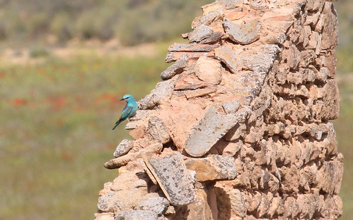 European Roller by ricmcarthur