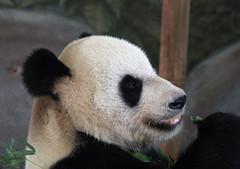 Giant Panda 08-28-2008 10