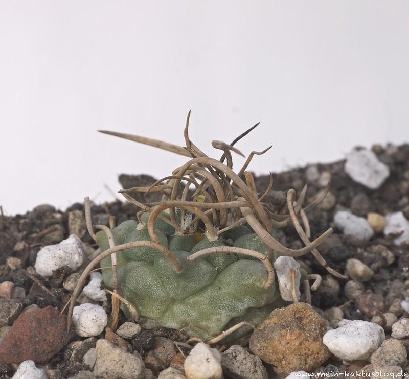 Turbinicarpus schmiedickeanus ssp. klinkerianus, Charco Blanco, S.L.P.
