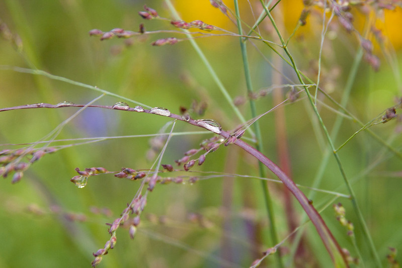 Rainy Day panicum ruby ribbons