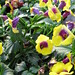 Small photo of Torenia Gilded Grape