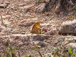 26 Vlinder mogelijk uit familie parelmoervlinders