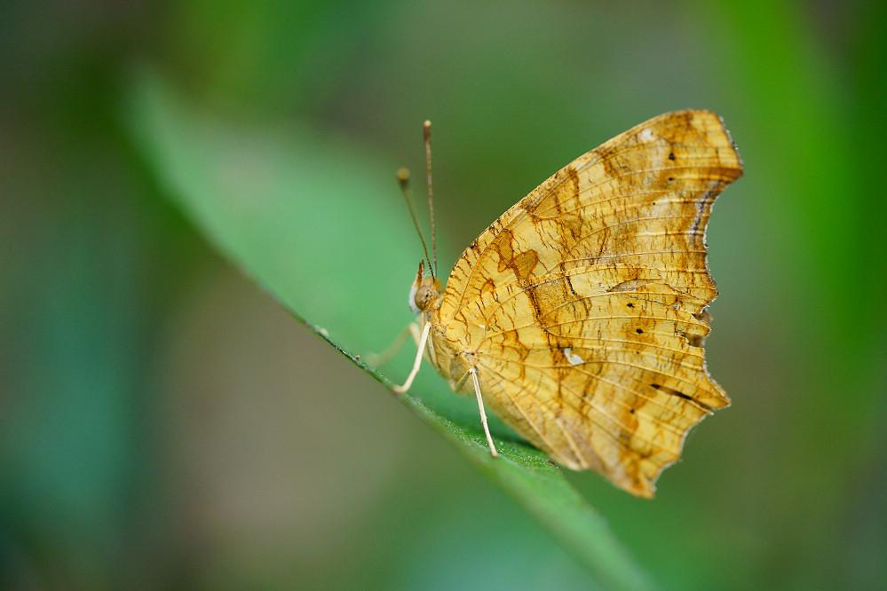 鉤蛺蝶屬黃鉤蛺蝶-1
