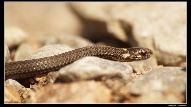 Juvenile Dekay's Brownsnake (Storeria dekayi)