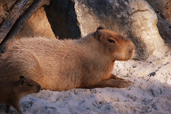 squirrel(0.0), whiskers(0.0), gerbil(0.0), animal(1.0), rodent(1.0), fauna(1.0), capybara(1.0), wildlife(1.0),