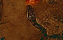 Green Anaconda (Eunectes murinus) juvenile