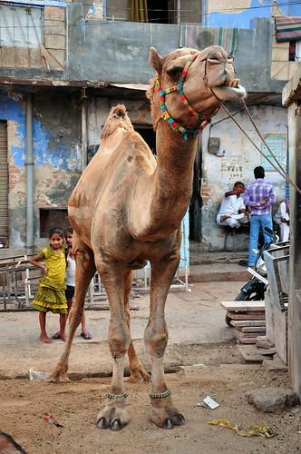 india camel bikaner rajasthan asienmanphotography