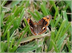 Tropical Buckeye Texas Butterfly photography by Ron Birrell, DSC_5153
