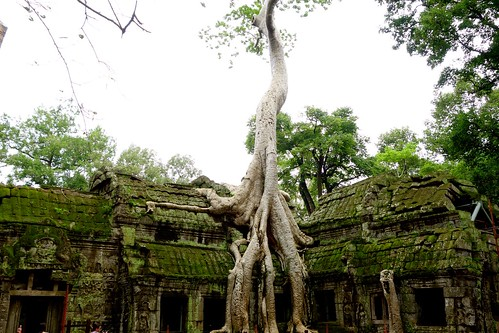 Huge tree on top of Ta Prohm temple