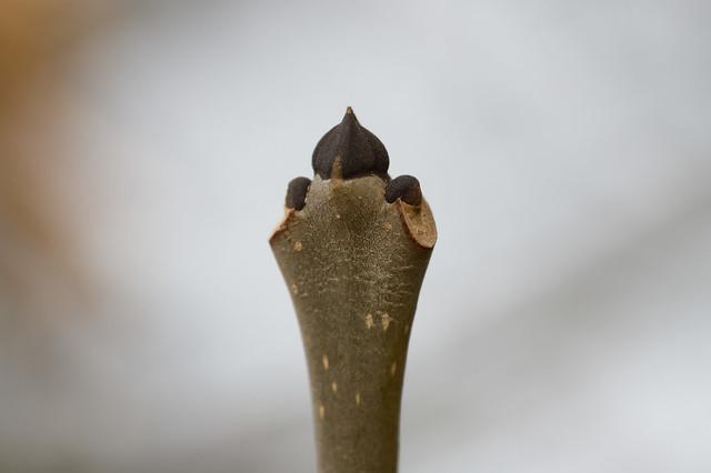 6: European Ash
