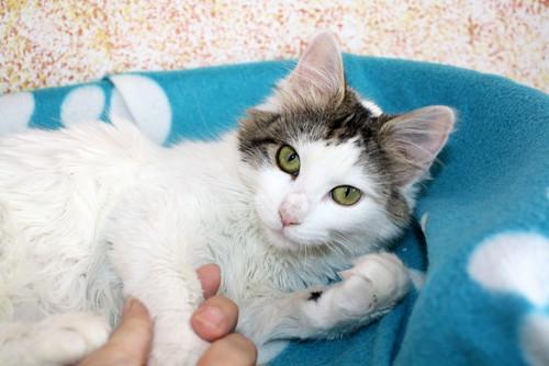 Neus, gata blanca cruce Van Turco pelo largo nacida en Julio´13 en adopción. Valencia. ADOPTADA. 12028739306_523b1c2dd3