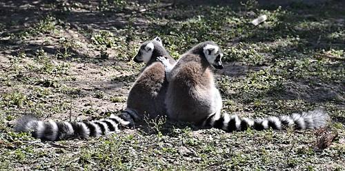 two zoo texas lemur endangered primate brownsville ringtailedlemur lemurcatta gladysporterzoo nikond7000 nikkor18to200mmvrlens