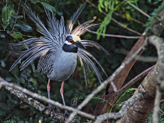 Yellow-crowned Night-Heron display 04-20140224