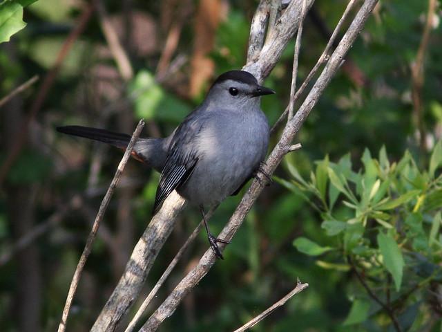 Gray Catbird 20140320