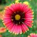 Sunflowers by arghya_88