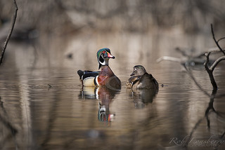 Wood Duck Pair | by Rob Lonsberry Photography