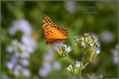Mexican Fritillary Texas butterfly photography by Ron Birrell, DSC_0566
