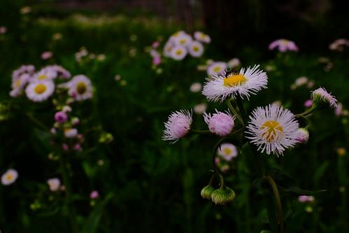 eastern daisy fleabane
