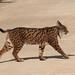 Iberian Lynx, Peter Dunn