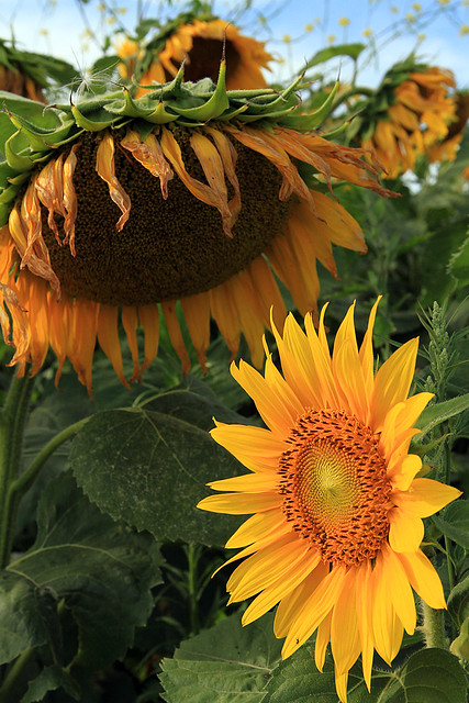 Sunflowers Past and Present