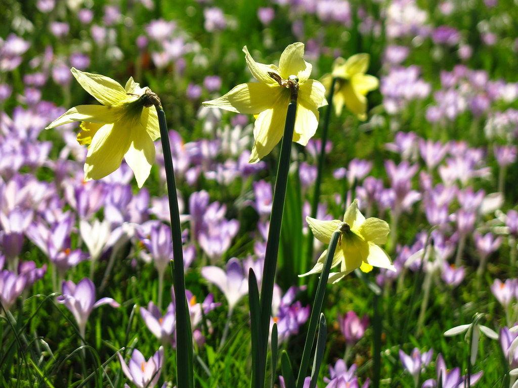 Daffodils at Myddelton House Gardens