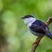 White-bearded Manakin - Brazilian Birds - Species # 199 by Bertrando©