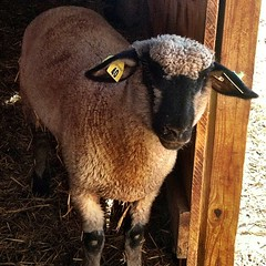 This little guy was pretty shy. #sheepish #latergram