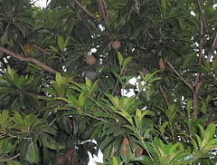 arecales(0.0), shrub(0.0), flower(0.0), plant(0.0), produce(0.0), food(0.0), loquat(0.0), evergreen(1.0), tree(1.0), manilkara(1.0), flora(1.0), fruit(1.0), jungle(1.0),