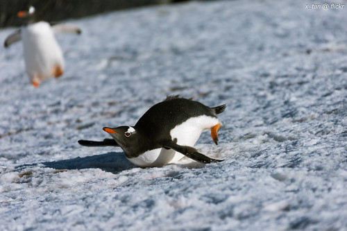 Gentoo Penguin @ Petermann Island, Antarctica by X_Tan
