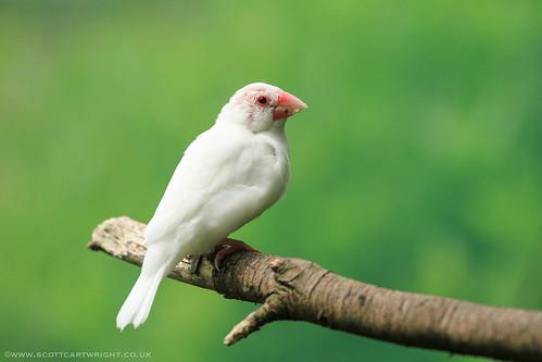 White Finch