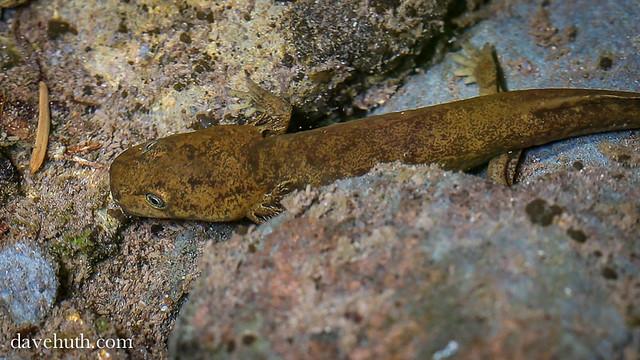Pacific Giant Salamander (Dicamptodon tenebrosus ...