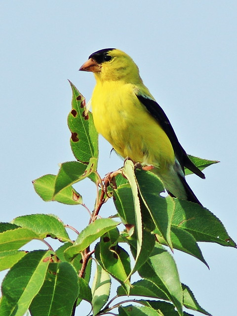 American Goldfinch 20130812