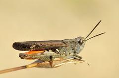 Omocestus raymondi male - Photo of Peyriac-Minervois