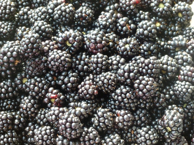 A great crop of blackberries this year