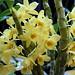 Den. Golden Blossom (24) x Den. Hambuhren Gold 'Eve'