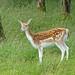Fallow Deer (John East)