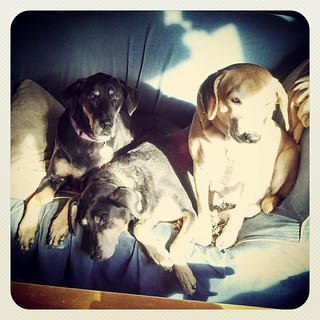 3 out of 4 dogs cramming into the same morning #sunspot #dogstagram #love #dobermanmix #coonhoundmix #houndmix #rescue #adoptdontshop
