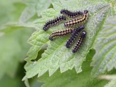 caterpillars of Aglais urticae (Nymphalidae)